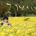 信州飯山菜の花まつり「幸せの黄色い菜の花」に魅せられて